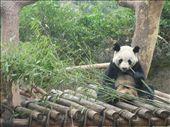 More bamboo munching pandas. : by lolo, Views[455]