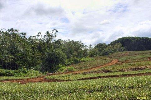 The Del Monte pineapple farm