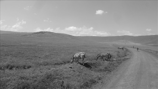 Zebras along the trail in the Ngorongoro Conservation Area