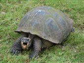 Galapagos - Giant tortoise: by lou, Views[262]