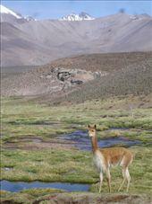 Disturbing the vicuñas: by lou, Views[280]