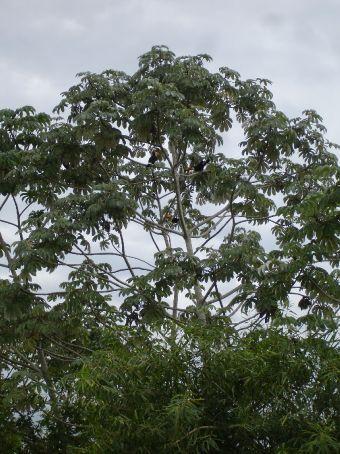 Pantanal - toucans
