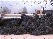 Mendoza - bikes & wines (grape crushing): by lou, Views[925]