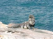 Iguana on Isla Mujeres: by loulou, Views[143]