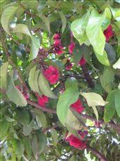 Really strange coloured wattle tree. Fluro pink! I _think_ that´s a wattle tree. : by luchinko, Views[1513]