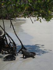 Fearless marine iguanas: by luchinko, Views[210]