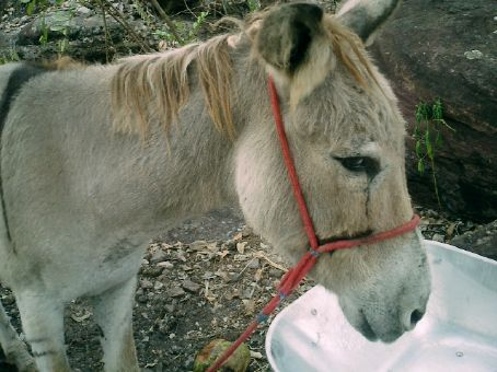 Ive heard some stories about rampant, wild, scavenging donkeys. This one is tame though.