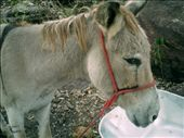 Ive heard some stories about rampant, wild, scavenging donkeys. This one is tame though.: by luchinko, Views[239]