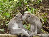 Canoodling Macaque style! After snogging they eat fleas off each other. To each there own I suppose: by lynne123, Views[163]
