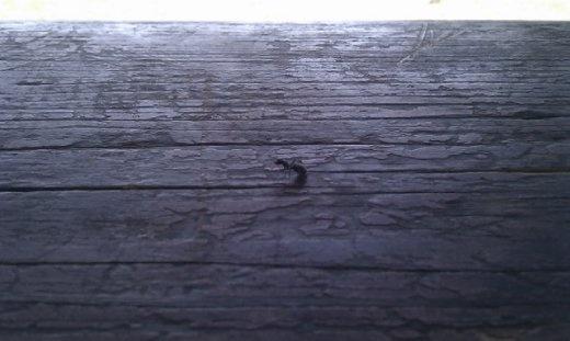 A rare ant