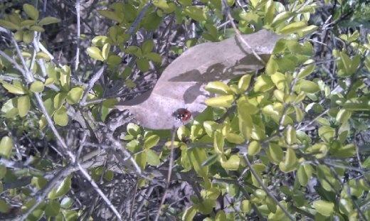 A rare ladybird