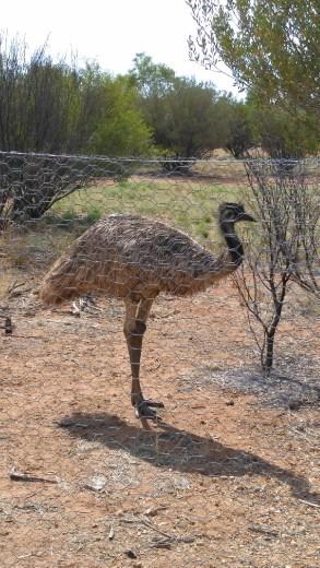 Emus at Desert Park