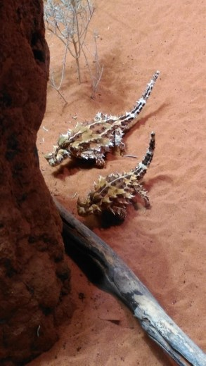 Thorny Dragons at Desert Park