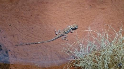 Military Dragons at Desert Park