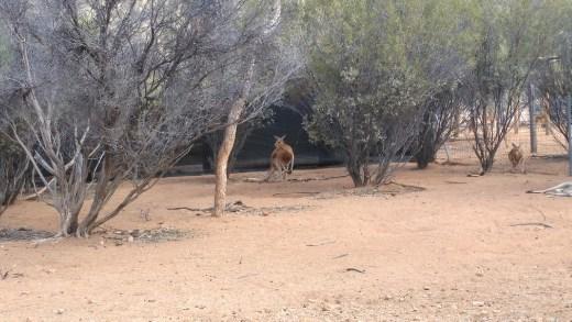 Male Red Kangaroo at Desert Park