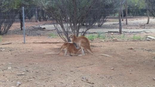 Joey feeding at Desert Park