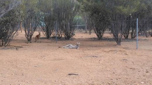 Female Red Kangaroo lazing about