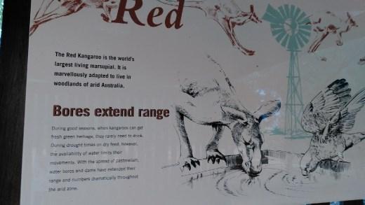Description of Red Kangaroos