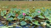 Lotus in Yellow River Cruise: by macedonboy, Views[129]