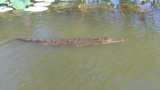 Crocodile in Yellow River