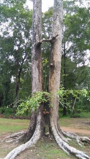 Tree in Thommanon Chau Say Tavoda