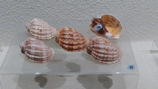 Harp shells