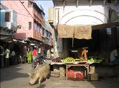 Rachel had a standoff with this hog which didn't seem to want to let her pass.: by machel, Views[209]