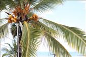 Coconut tree in northern Sri Lanka: by madamemahsa, Views[325]
