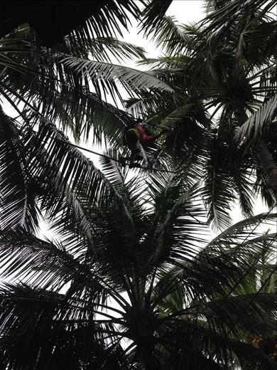 Local tapper walks between coconut trees
