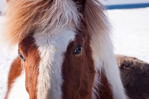 Need for company, Icelandic horse, Snæfellsnes peninsula