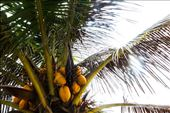 Coconut oil has prominently been used for generations for beautiful skin!: by makaman, Views[147]