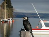 pied shag - queenstown lake in the background: by manjinder_nagra, Views[223]