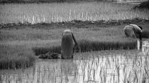 Campesinos trabajando sus tierras. Sundarbans.