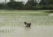 Trabajando la tierra. De camino a Sundarbans. West Bengal.: by manuel, Views[57]