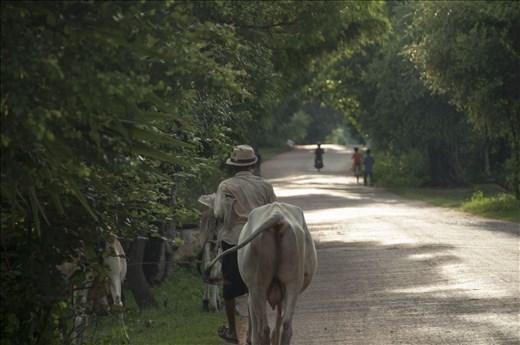 Paseando con sus vacas. Angkor Wat. Siem Reap. Camboya.