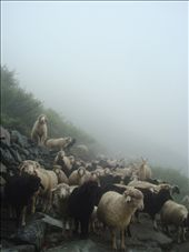 Heard of sheeps & goats along the trek.: by manumint, Views[182]