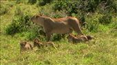 One of the best sights ever! A Mama lion with her 4 cubs, awwww: by marciechiwi, Views[177]