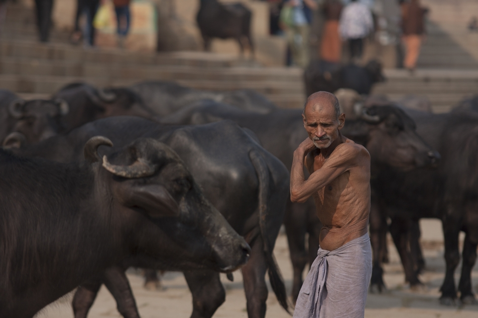 Shepherd controlling buffalos close to babughats on the river Hooghly.