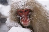 Mother Snow Monkey: by margie70, Views[1526]