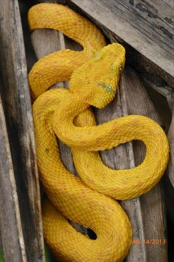 Most poisonous snake in Costa Rica. Found in the jungle of Cahuita.