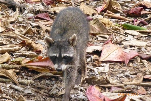 Racoons in the jungle of Cahuita