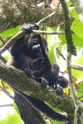 Howler Momma and her baby in the jungle of Cahuita.