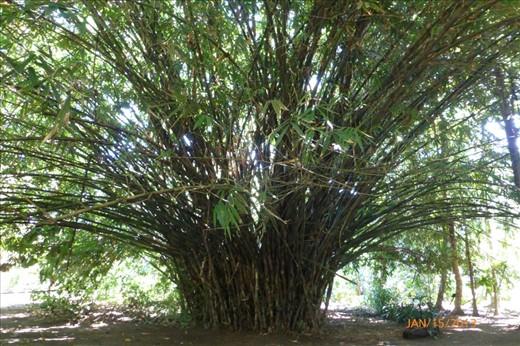 beautiful bamboo in the wildlife rescue center of Cahuita.