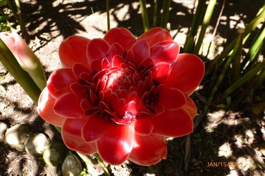 Pink Tulip Ginger.
