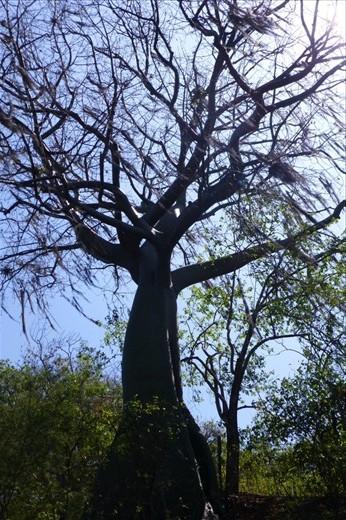 Ceibo trees...most amazing...
