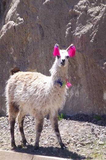 decorated llamas.