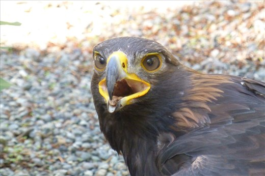 Hawk at the raptor center.