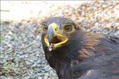 Hawk at the raptor center.: by margitpirsch, Views[270]