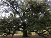 Major Oka tree..same park: by margitpirsch, Views[41]