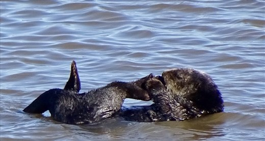 Moss Landing Otters - this is what they do...